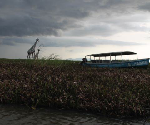 MV Kagoro Stuck in the water Hyacinth Dunga  beach Kisumu